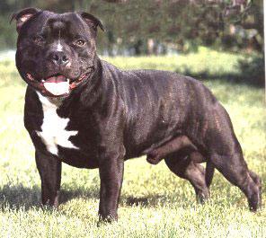 bullrot collier pour chien