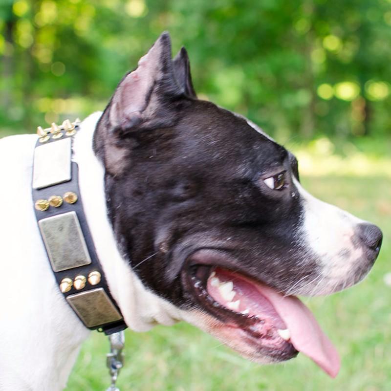 collier pour chien bullrot molosse